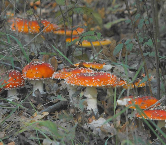 Sortie champignons à Arès en automne