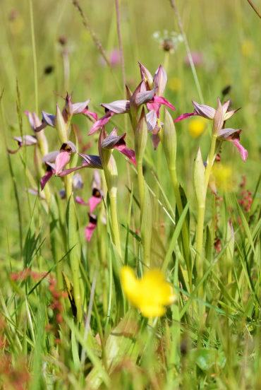 Orchis à fleurs lâches à Arès