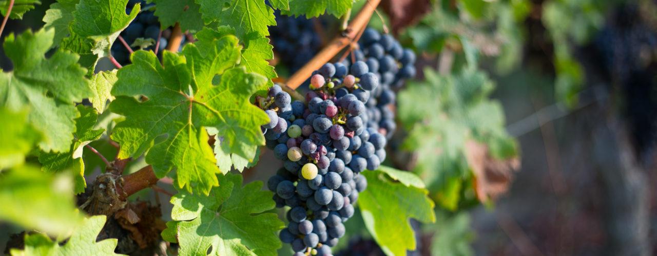 Grappe de raisins noir dans la vigne du Fronsac en Gironde.