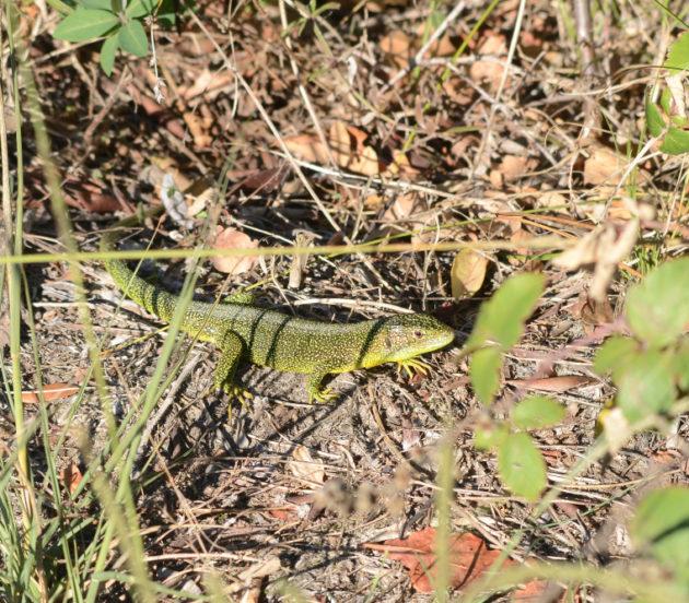 Lézard vert dans la réserve naturelle nationale des Prés Salés