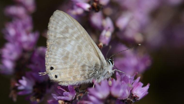 Le Papillon Azuré de Lang