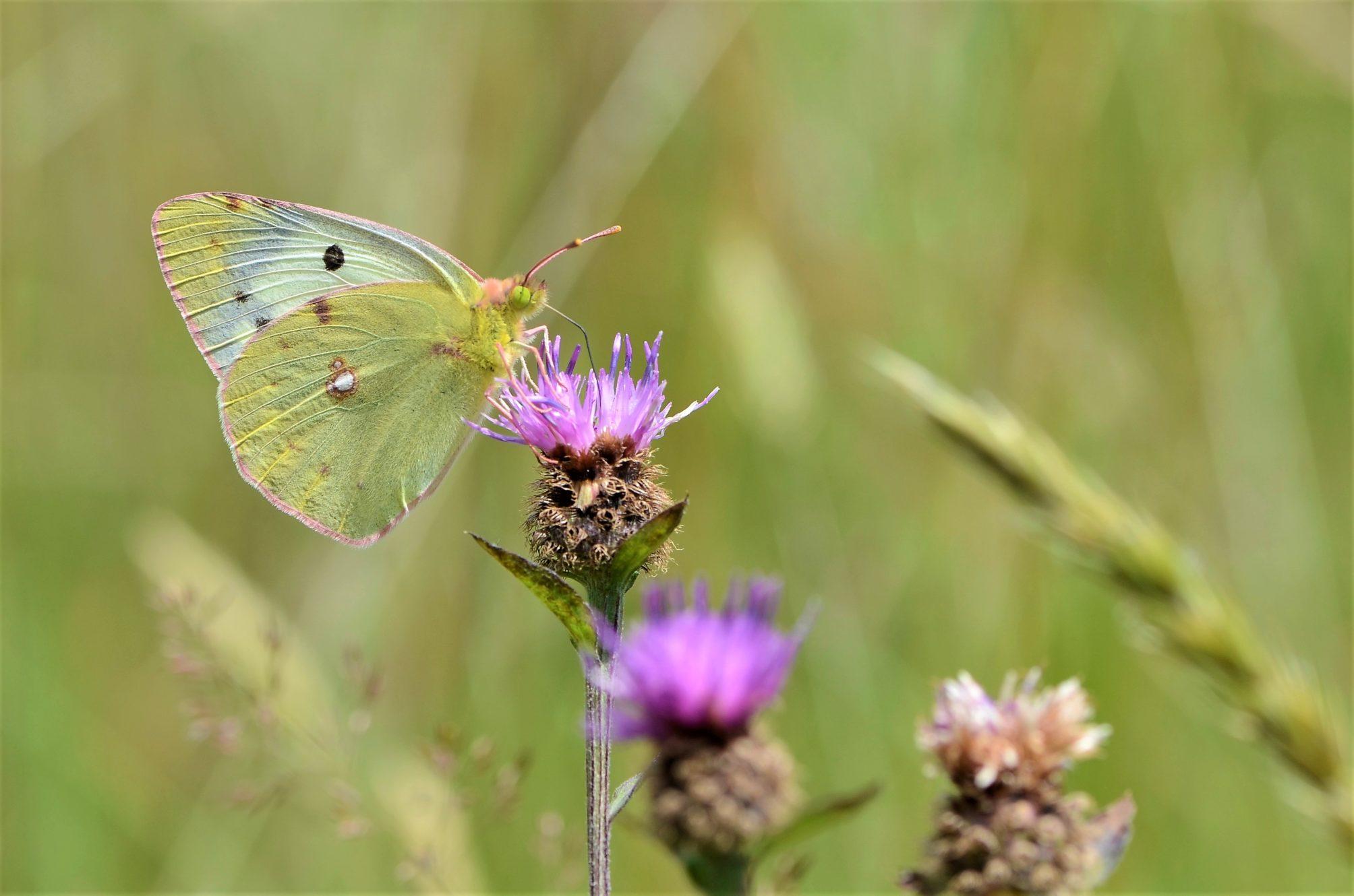 Le souci, papillon migrateur